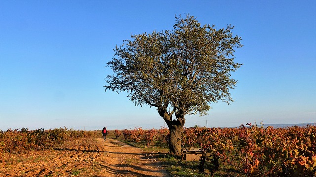 Vignes au Pays Cathare